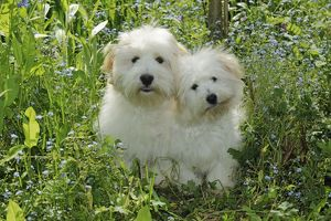 Dog - Coton de Tulear - two sitting together in garden