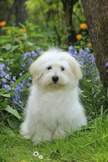 Dog - Coton de Tulear - sitting in garden