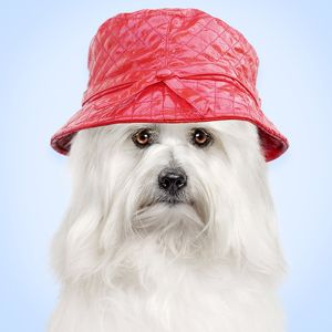 Dog - Coton de Tulear wearing red hat