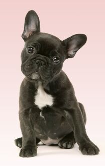 DOG - Cute French Bulldog Puppy