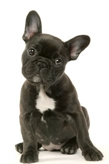 DOG - Cute French Bulldog Puppy with cocked head