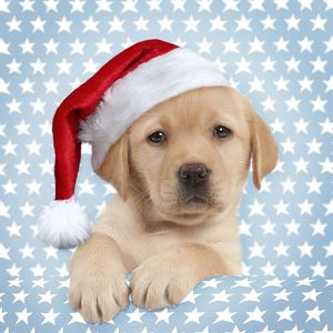Dog - Cute Yellow Labrador Puppy wearing a Christmas Hat