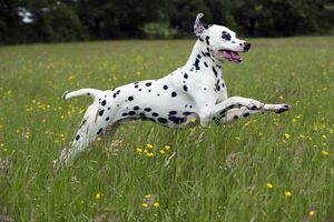 DOG - Dalmatian running through buttercup field