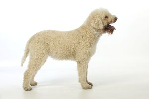 JD-21806 DOG. Lagotto romagnolo