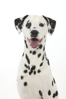 DOG - Dalmatian with its tongue out (head shot)