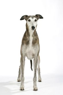 Dog - Dark Brindle and white Greyhound
