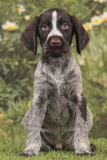 Dog - Deutsch Drahthaar / German Wirehaired Pointer