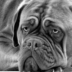 Dog - Dogue de Bordeaux. Black & White