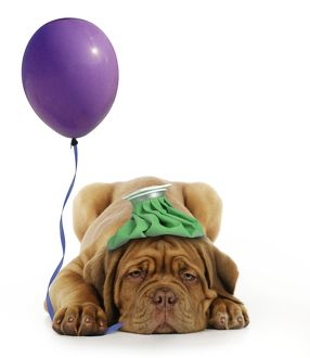 DOG - Dogue de bordeaux puppy laying down with ice pack on his head and with a balloon