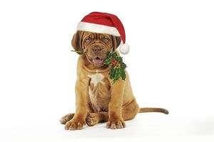 DOG -Dogue de bordeaux puppy sitting down holding holly wearing Christmas hat