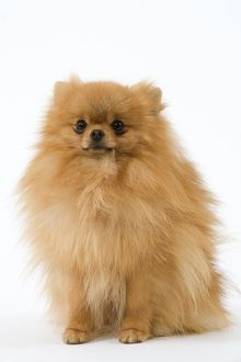 Dog - Dwarf Spitz / Pomeranian. Also know as Spitz nain
