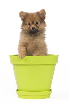 Dog - Dwarf Spitz. puppy in flowerpot