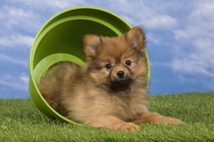 Dog - Dwarf Spitz. puppy in flowerpot.