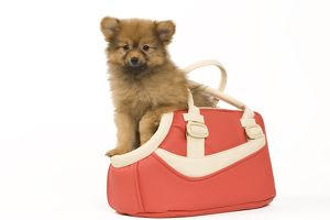 Dog - Dwarf Spitz. puppy in handbag