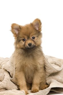 Dog - Dwarf Spitz. puppy wrapped in towel.