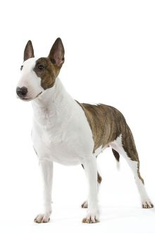 Dog - English Bull Terrier