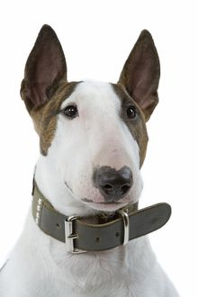 Dog - English Bull Terrier - with collar