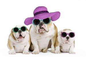 Dog - English Bulldog - adult and puppies wearing summer hats and glasses