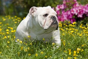 Dog - English Bulldog in garden with flowers