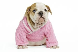 Dog - English Bulldog - puppy dressed up in pink dressing gown in studio