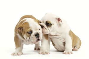 Dog - English Bulldog - one 'whispering' in other's ear