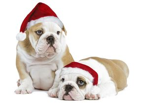 Dog - English Bulldogs - in studio wearing Christmas hats