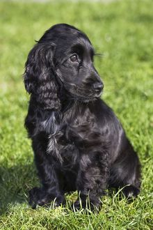 Dog - English Cocker Spaniel