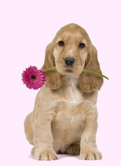 Dog - English Cocker Spaniel - puppy holding flower