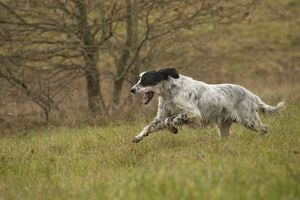 Dog - English Setter - running