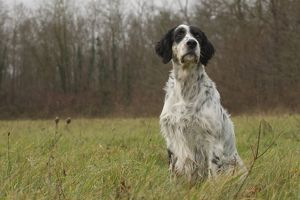 Dog - English Setter - sitting down