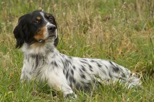Dog - English Setter Tricolor - lying down