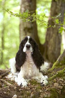 Dog - English springer spaniel