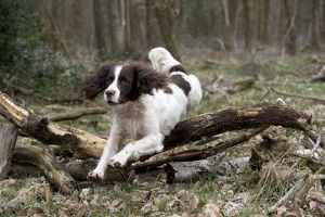 DOG - English springer spaniel jumping over fallen branches