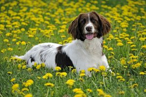 Dog - English Springer Spaniel - lying in meadow of flowers