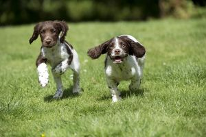 DOG - English springer spaniel puppies running