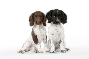 DOG - English springer spaniel puppies sitting