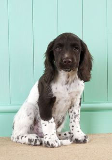 DOG - English springer spaniel puppy (8 weeks)