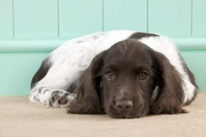 DOG - English springer spaniel puppy laying down (8 weeks)