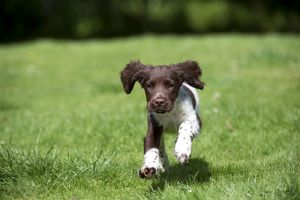 DOG - English springer spaniel puppy running in
