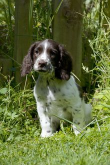 DOG - English springer spaniel puppy sitting in