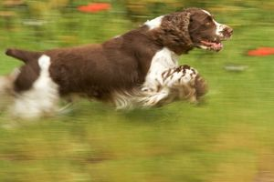 Dog - English springer spaniel running