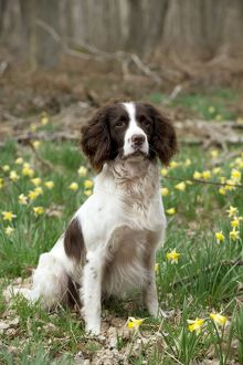 DOG - English springer spaniel sitting in daffodils
