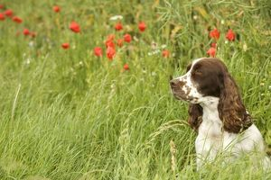 Dog - English springer spaniel sitting in field with poppies