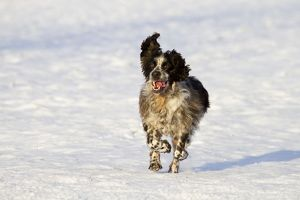 Dog - English Springer Spaniel - in snow