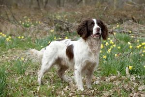 DOG - English springer spaniel standing in daffodils