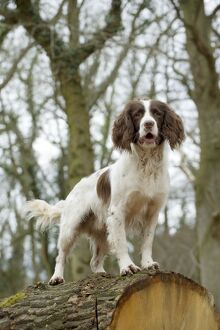 DOG - English springer spaniel standing on fallen tree trunk