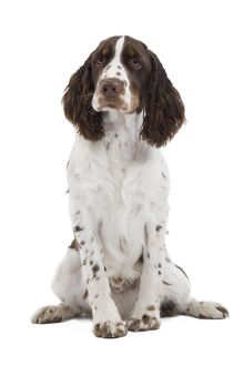 Dog - English Springer Spaniel in studio