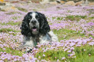Dog - English Springer Spaniel - in Thrift