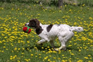 Dog - English Springer Spaniel with toy running in meadow