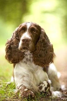 Dog - English springer spaniel in woodland